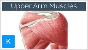 Muscle Function and Insertion
