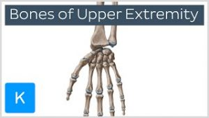 Bones of the Upper Extremity