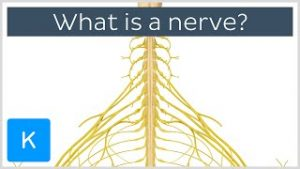 Neurovasculature Definition, Anatomy & Function
